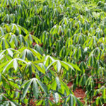 camap-Cassava-Mechanisation-and-Agro-processing-Project-inspires-hope-in-Nigeria